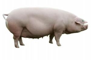 Определение живой массы  упитанных (для сальных) свиней по промерам